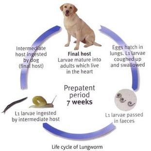 worming dogs and puppies  viovet   viovet knowledgebase