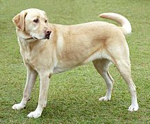Labrador Retriever image