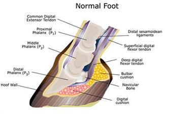 Image result for laminitis hoof