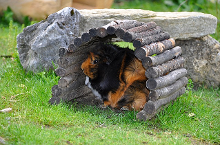 The dangers of keeping rabbits and guinea pigs together