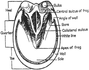 Internal Structure of a Horses Hoof